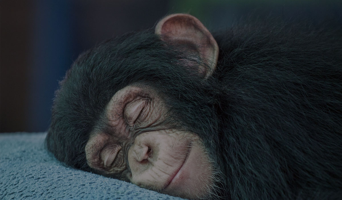 Happy sleeping chimp